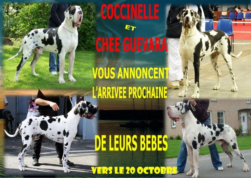 LES BEBES DOGUES ALLEMANDS DE COCCINELLE Portee12