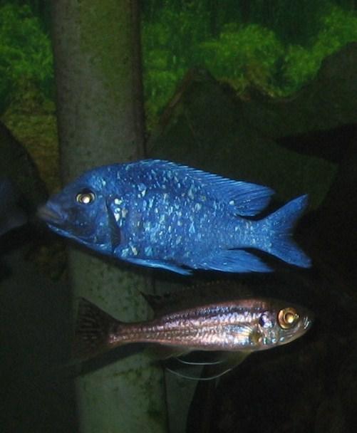 """vend Placidochromis  """"phenochilus Tanzania"""" Img_7012"""