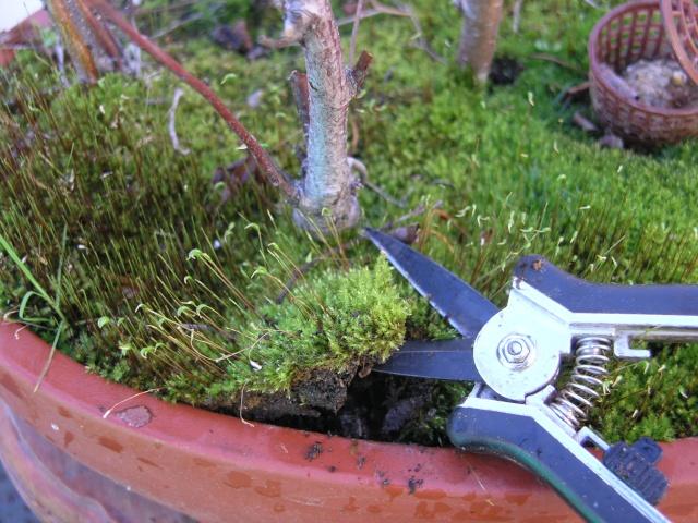 changement d'un arbre mort sur une petite foret de bouleau P2274211