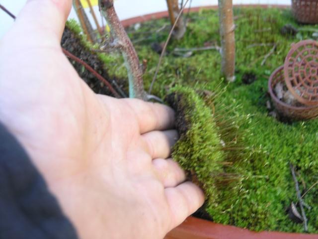 changement d'un arbre mort sur une petite foret de bouleau P2274212