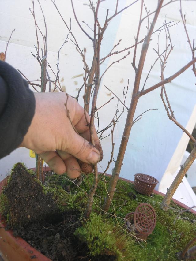 changement d'un arbre mort sur une petite foret de bouleau P2274213