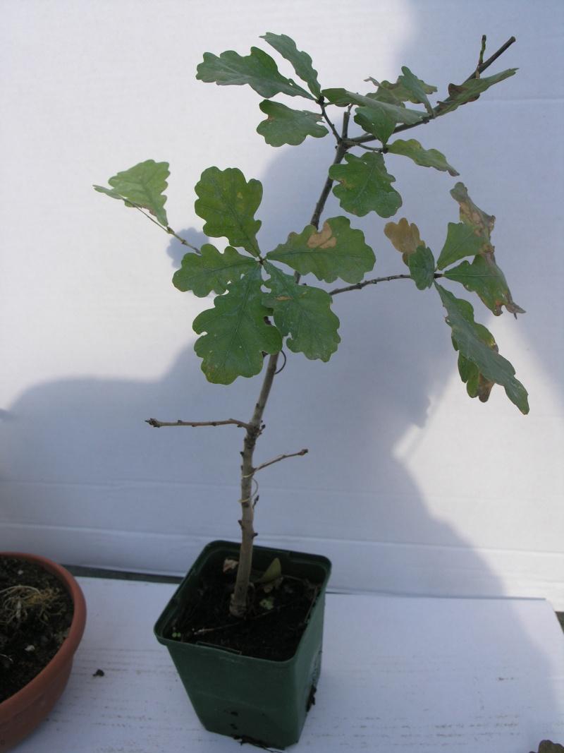 chêne pedoncule Pa243717