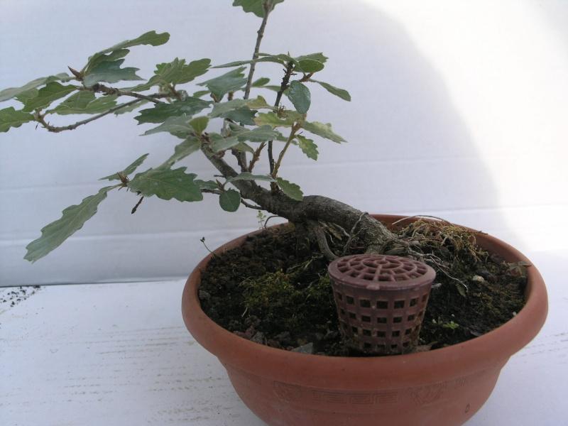 chêne pedoncule Pa243718