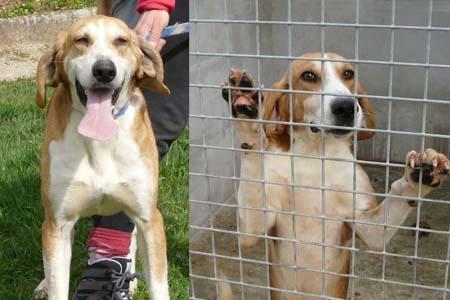 [URGENT] 15 magnifiques chiens courants en danger - Refuge saturé (86) George10