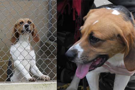 MERCURE, beagle mâle, 4 ans (86) Mercur10