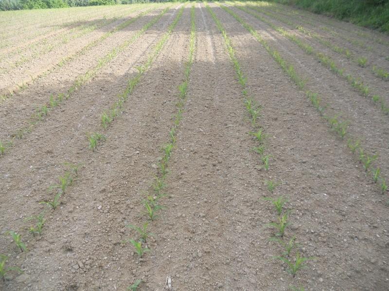 Maïs 5 feuilles qui se déforme - Page 2 Dscn0615
