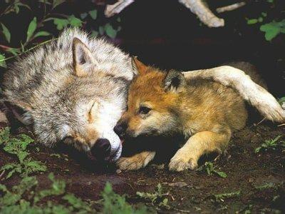 defenders.org Wolf-w10