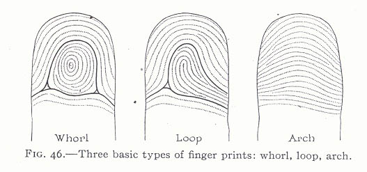 The TRIRADIUS in a fingerprint: how it develops, it's characteristics + a definition! - Page 14 Whorl-10