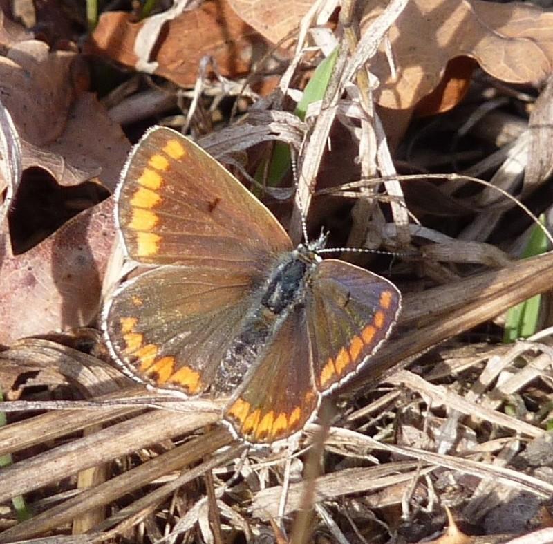 [divers rhopalocères] verif et doute papillons de l'été Azura_12