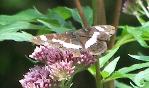 [divers rhopalocères] verif et doute papillons de l'été Chapel10