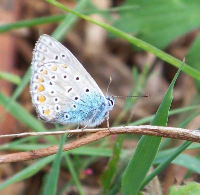 [divers rhopalocères] verif et doute papillons de l'été Lochs_10