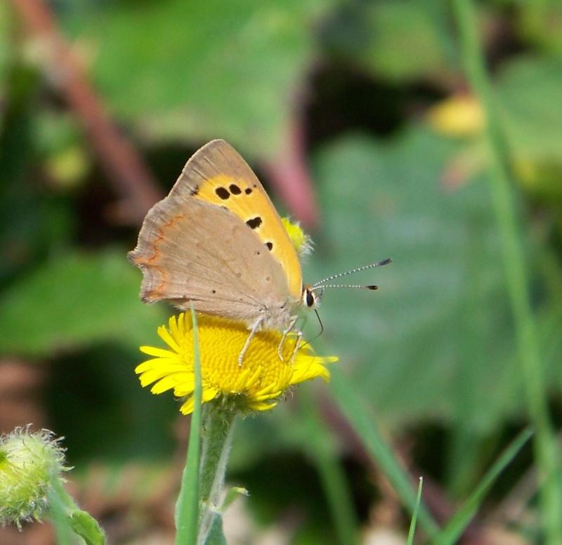 [divers rhopalocères] verif et doute papillons de l'été Lochs_11