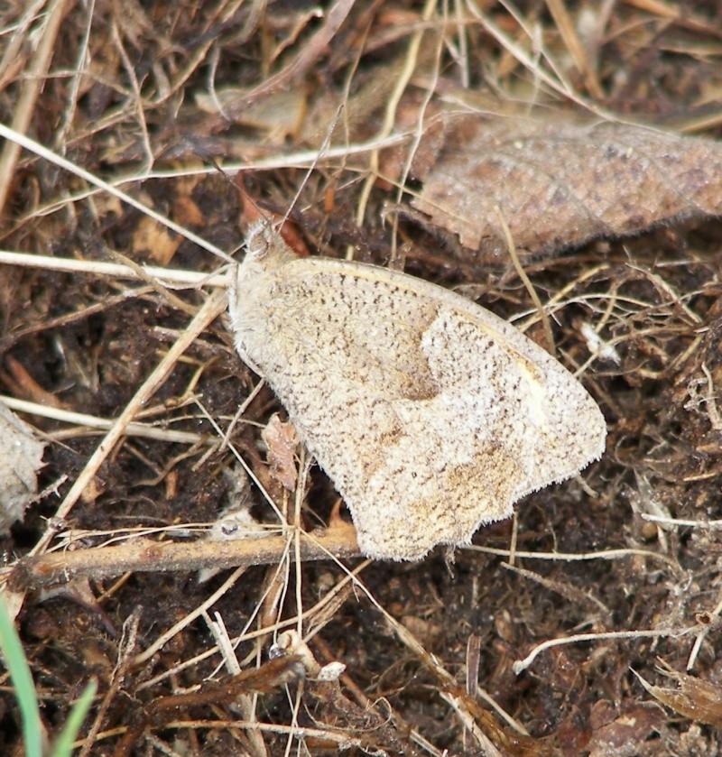 [divers rhopalocères] verif et doute papillons de l'été Ouessa10