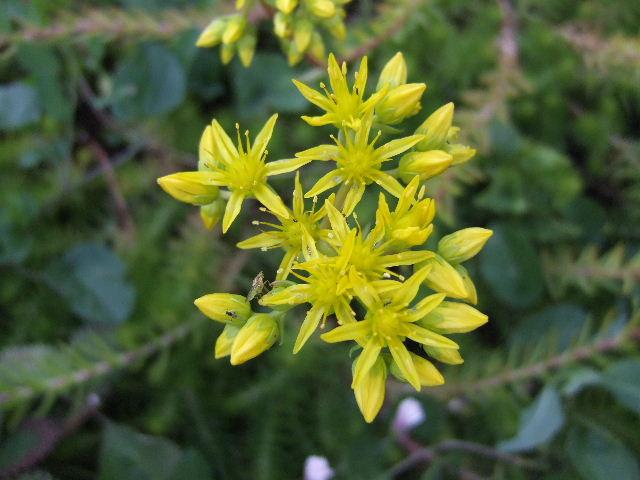 couvre-sol en fleur 2011_038