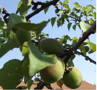 fruits Abrico11