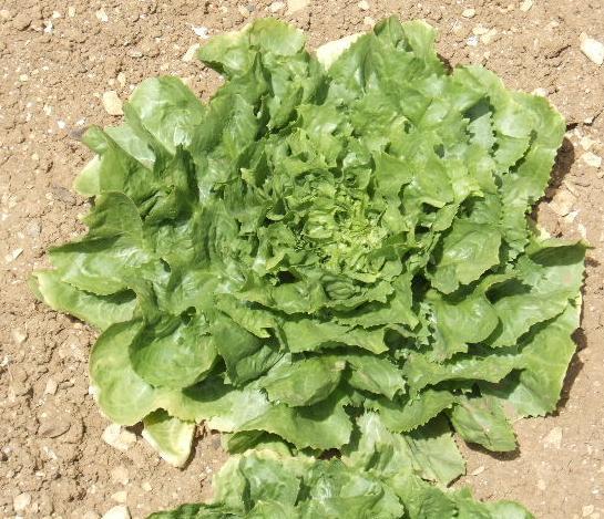 Salade de printemps Laitue10
