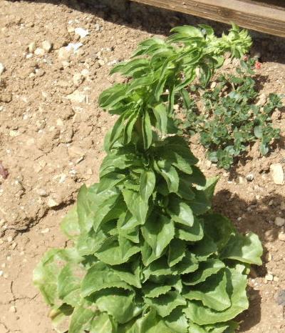Salade de printemps Laitue11