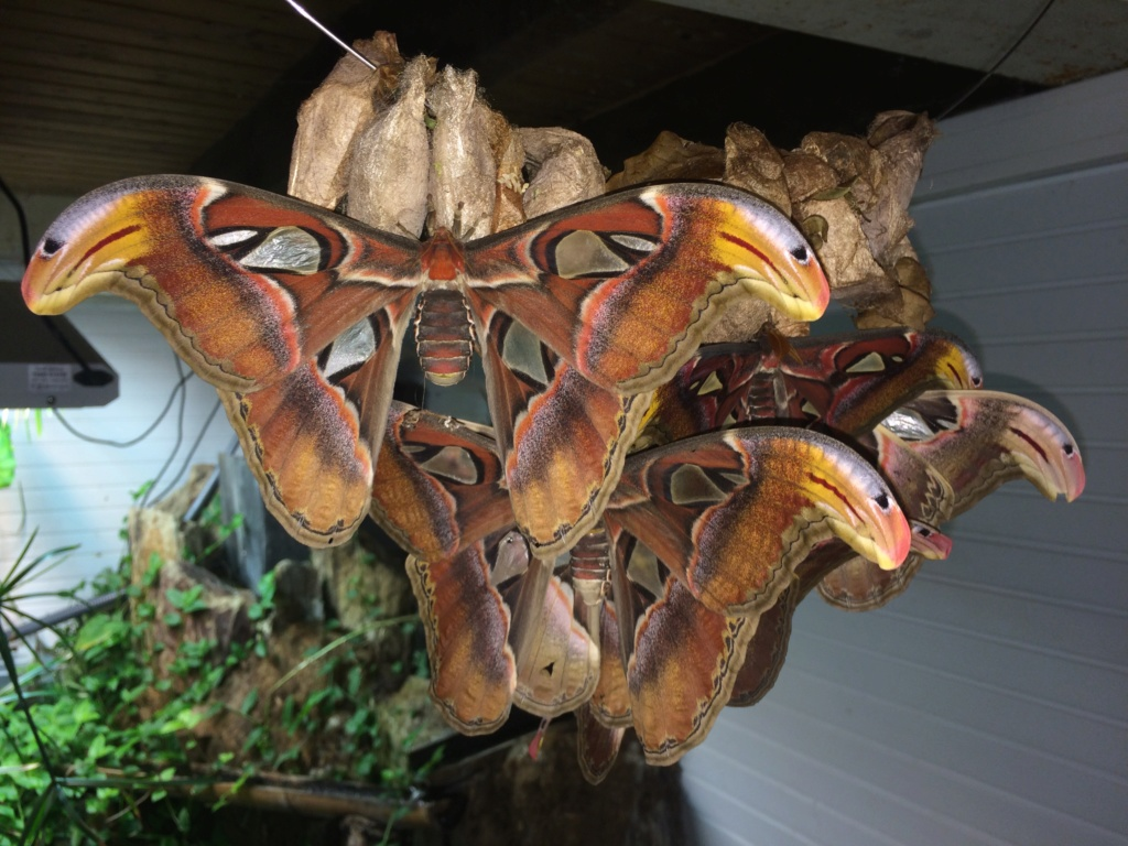 Attacus atlas Img_5311