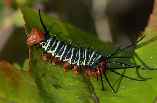 Citheronia Aroa Phi_0610