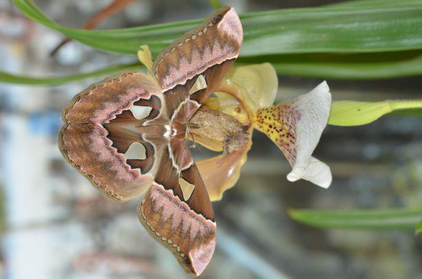 Rothschildia aurota   Phi_4411