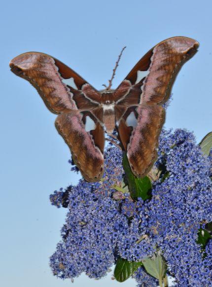 Rothschildia aurota   Phi_4412