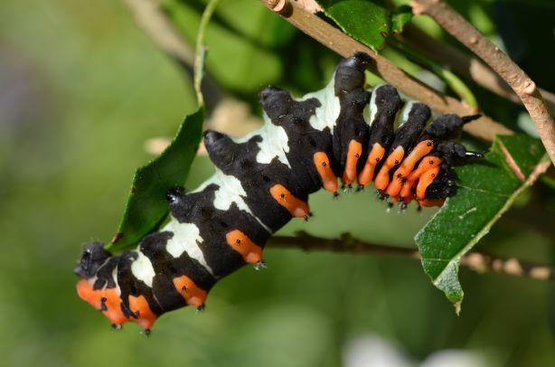 Rothschildia erycina Phi_9514