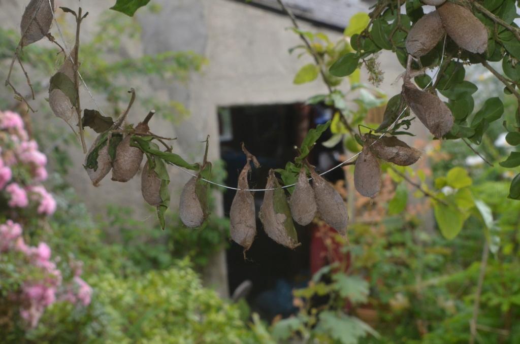 Rothschildia erycina Phi_9810