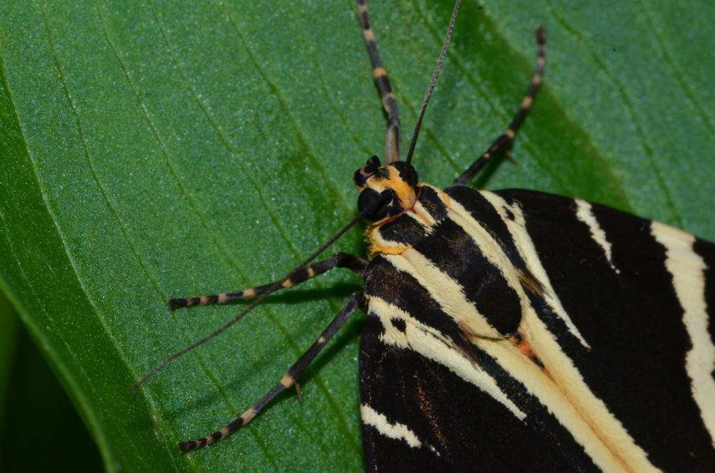 Ecaille chinée (Euplagia quadripunctaria) Phi_9813