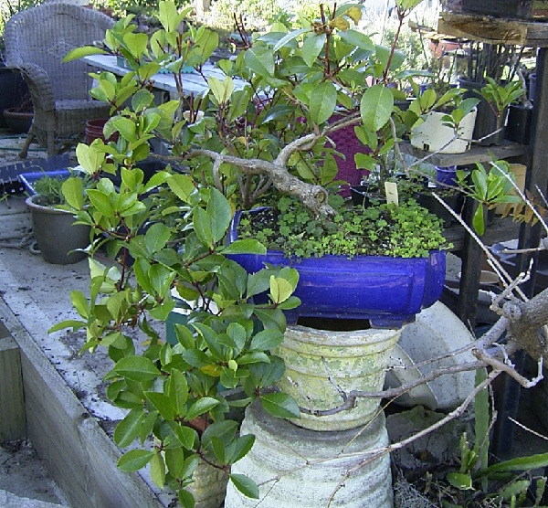 Vireya Rhododendron Darlin10