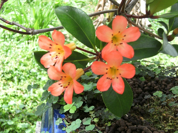 Vireya Rhododendron Flower11
