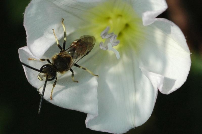 abeille dans liseron Id11-212