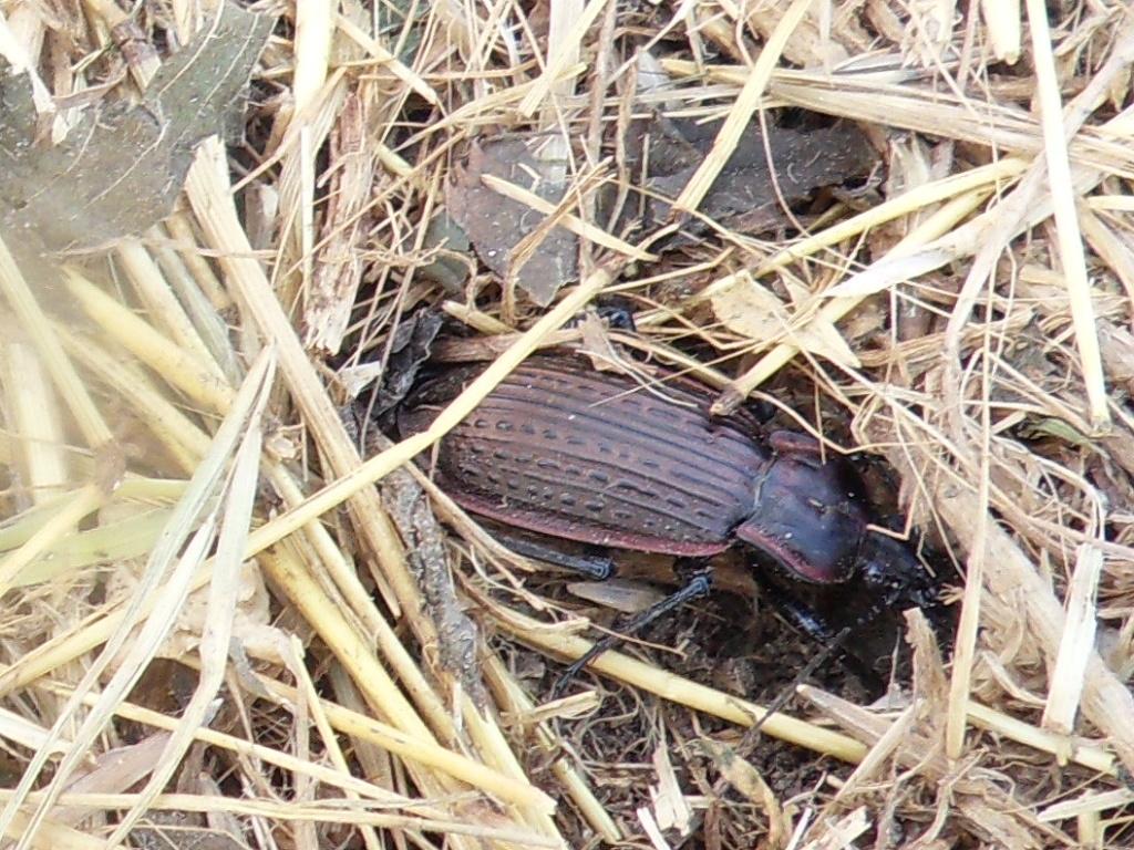 Macrothorax morbillosus  ssp. constantinus  n. corsicanus  Sdc16010