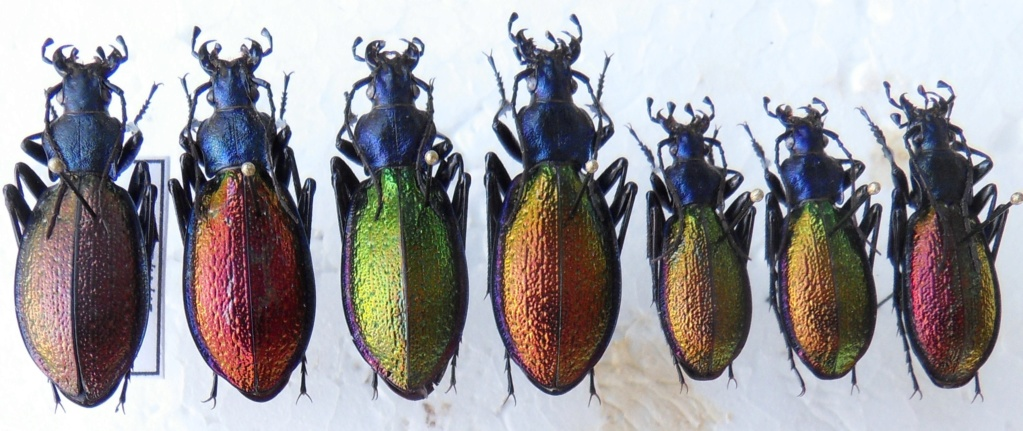 Ch. hispanus f.latissimus Sdc17211