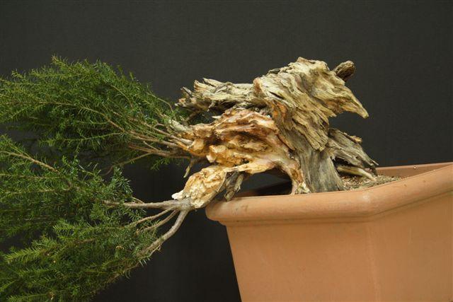 Next bonsai demo at my friend Stemberger 1010