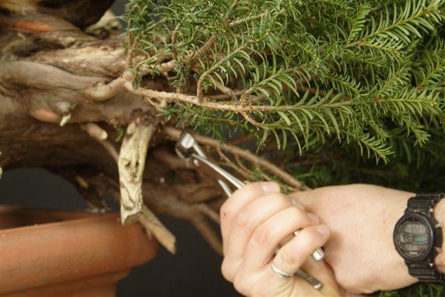 Next bonsai demo at my friend Stemberger 210