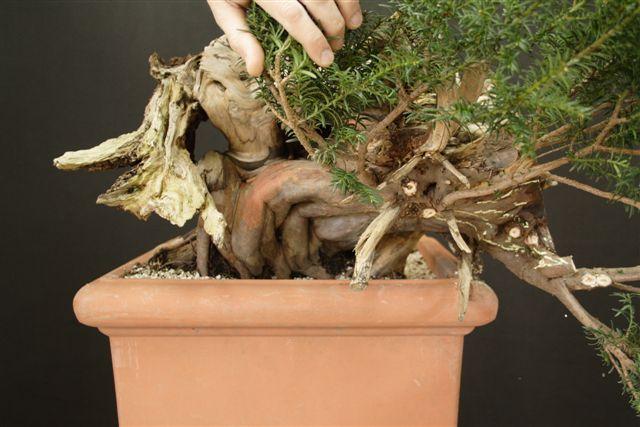 Next bonsai demo at my friend Stemberger 410