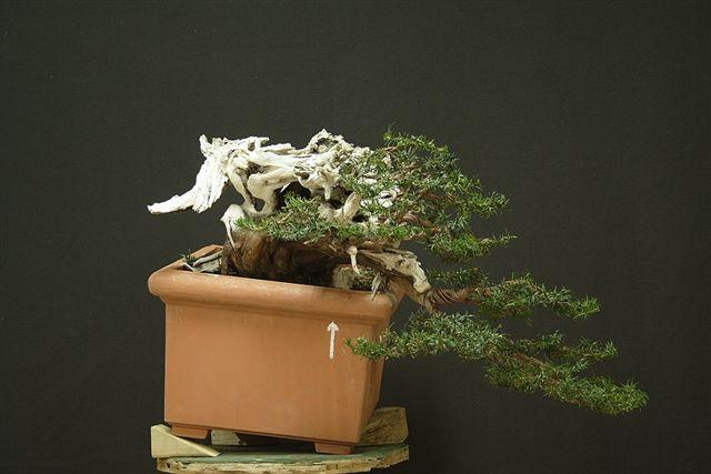 Next bonsai demo at my friend Stemberger _mg_3210