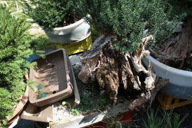 Next bonsai demo at my friend Stemberger C10
