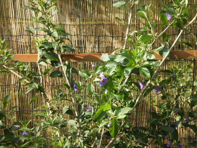 Solanum rantonetti - Page 2 Pa130014