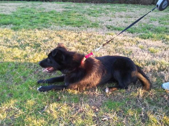 collie - HELP HELP FUNKY 11 MOIS BORDER COLLIE Funky210