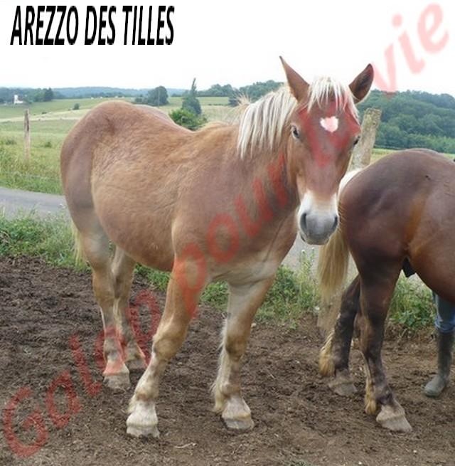 AREZZO - Trait Comtois né en 2010 - Adopté en juin 2011 Arezzo10