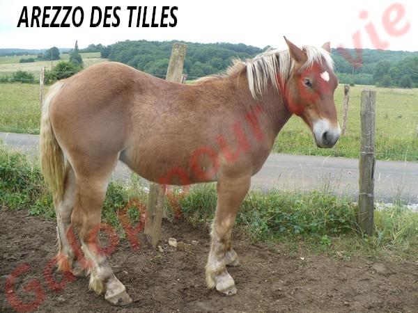 AREZZO - Trait Comtois né en 2010 - Adopté en juin 2011 Arezzo11