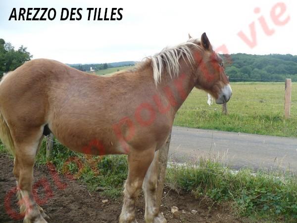 AREZZO - Trait Comtois né en 2010 - Adopté en juin 2011 Arezzo12
