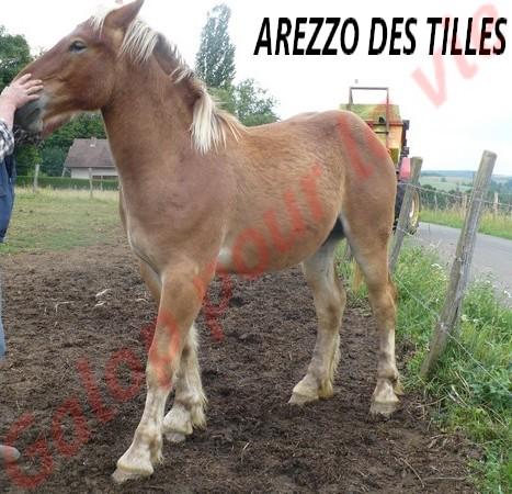 AREZZO - Trait Comtois né en 2010 - Adopté en juin 2011 Arezzo14