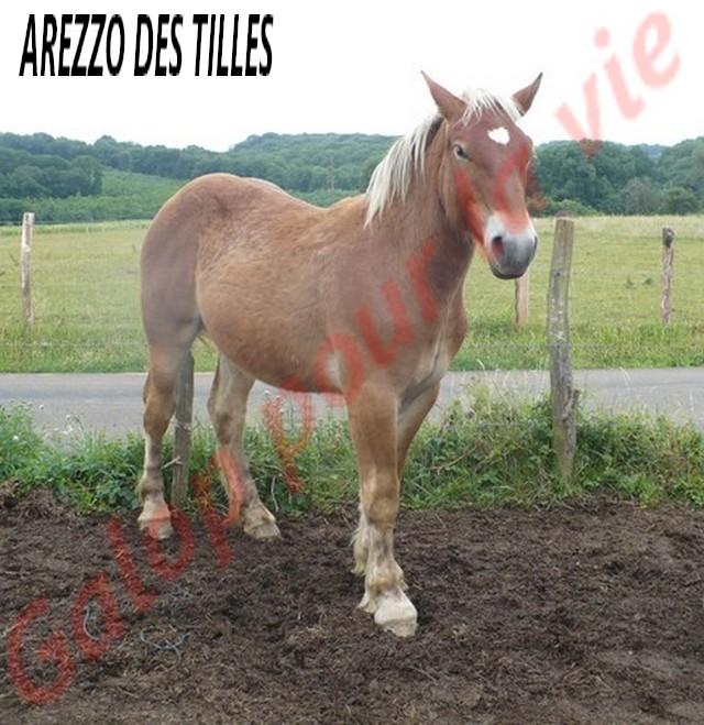 AREZZO - Trait Comtois né en 2010 - Adopté en juin 2011 Arezzo16