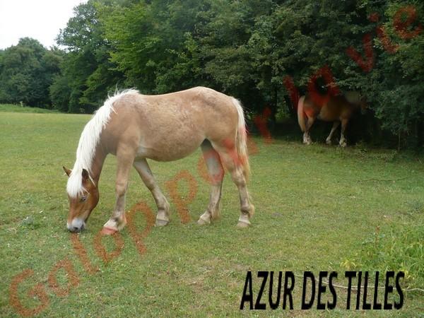 AZUR - PP Trait Comtois née en 2010 - adoptée en juin 2011 par adeline10 Azur_d10