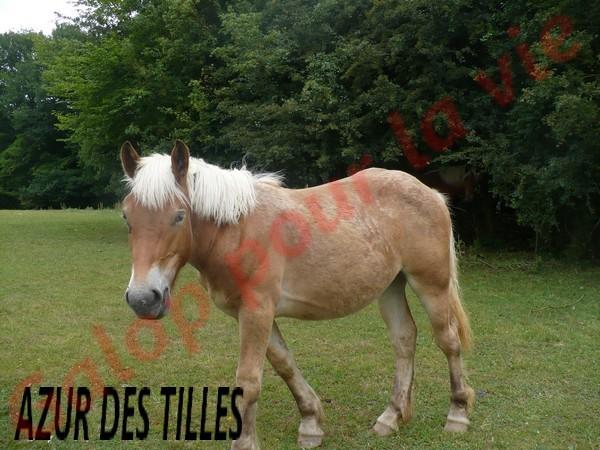 AZUR - PP Trait Comtois née en 2010 - adoptée en juin 2011 par adeline10 Azur_d11