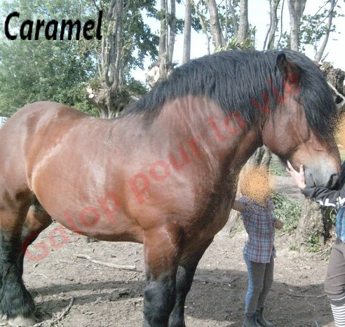 CARAMEL - ONC typé Trait du Nord entier, né en 1995 - accueilli en juillet 2011 chez Pech Petit S7301314
