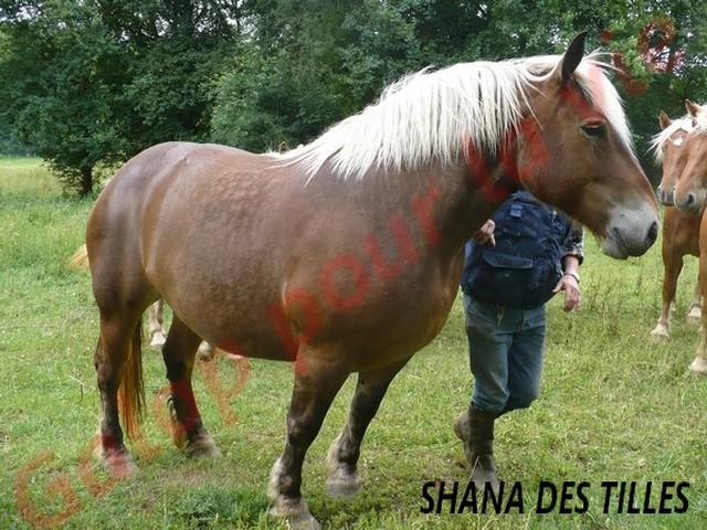 SHANA - Trait Comtois née en 2006, et BB Chérokis (ONC Trait - 2012) - adoptés en juillet 2011 par stephele12 Shana_10