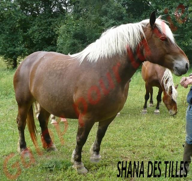 SHANA - Trait Comtois née en 2006, et BB Chérokis (ONC Trait - 2012) - adoptés en juillet 2011 par stephele12 Shana_11